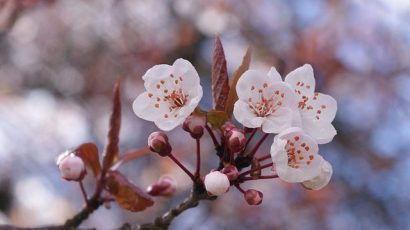 640px-Cherry_blossoms_