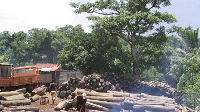 Illegal logging of rosewood in Africa circa 2009.