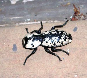 Ironclad Beetle. Credit: Sqwertz CC BY-SA 4.0 via Wikimedia Commons